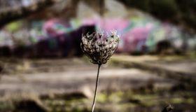 Blume vor Ruine